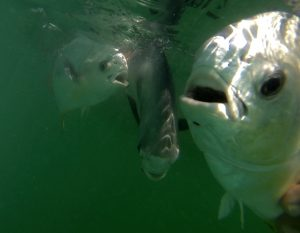 A trio of permit under water